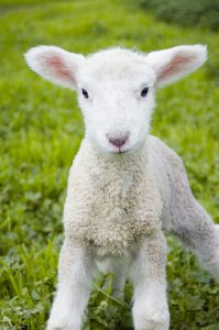 Lamb of God who takes away the sins of the world
